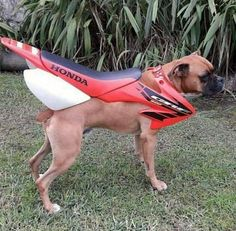 Someone has only gone and put a boxer engine in a Honda CRF frame. Funny Animal Pictures, Funny Photos, Funny Animals, Cute Animals, Hilarious Pictures, Funny Boxer, Funny Dogs, Haha Funny, Funny Cute