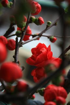 A close up of red quince blooms. Beautiful red flowers blooming in a thicket of branches. Flowering Quince, So pretty. I've wanted one for ages and at last I have one of my ver own! Flowers Nature, My Flower, Beautiful Flowers, Beautiful Gorgeous, Small Flowers, Dahlia, Planting Flowers, Flowers Garden, Spring Flowers