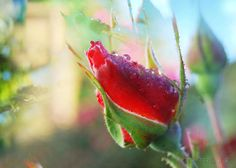 Rose bud dew drop photographic printable  wall art by NewCreatioNZ, $10.00