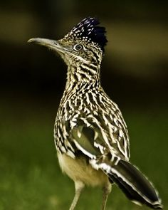 The Greater Roadrunner - Geococcyx californianus, is a long-legged bird in the cuckoo family. Their breeding habitat is desert and shrubby country in the southwestern United States and northern Mexico. Photo by Carol Blackard.
