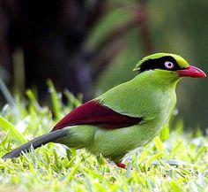 Javan Green Magpie is in the crow family. It is endemic to montane forests on the southeast Asian island of Java.