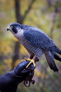Peregrine Falcon, known as the fastest bird, attaining up to 200 mph in a stoop or dive...Photography by Vidular