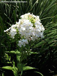 Garten im August: Phlox  The garden in August: Phlox