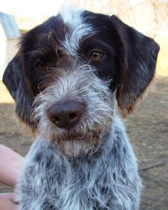 german wirehaired terrier german wired hair pointer beautiful puppies 5439