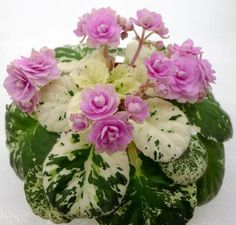Фиалка Rose Bouquet (G.T. Smith) - Google Search