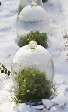 bell jars protecting the tender plants