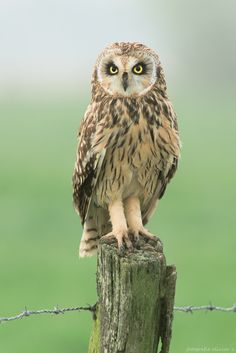 Statue by Olivier Colle ~ A short eared owl posing like a statue**