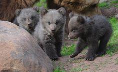 """""""Three little bears - Three young bears roam around at the wildlife park in Tripsdrill, Germany on April 10. The female bear cubs are 14 weeks old."""" ~MSN"""