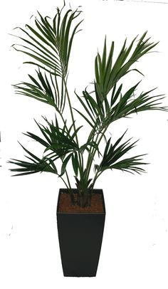 Chamaedorea parlour palm full shade indoors garden for Indoor no light plants