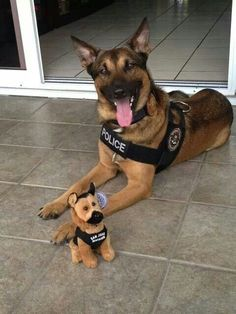 FBI San Juan, PR K9 Ary ***Had to add this in, the puppy looks so happy!*** #germanshepherd
