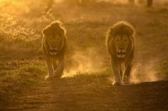 Two male lions walk to a watering hole at dawn, Ndutu, Tanzania, - Two male lions walk to a watering hole at dawn, Ndutu, Tanzania, East Africa