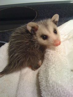 you're only cute when you're a baby little opossum.
