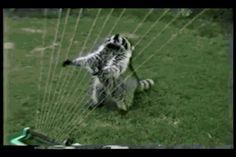 New trending GIF on Giphy. music water afv racoon instrument sprinkler instrumental. Follow Me CooliPhone6Case on Twitter Facebook Google Instagram LinkedIn Blogger Tumblr Youtube