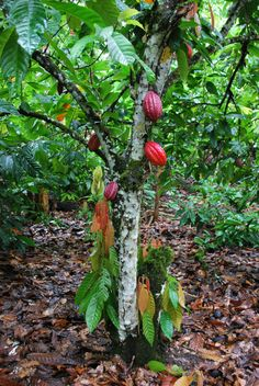 There's a farm in Hawaii that ships cacao seedlings. I want one.   ...  The theobroma cacao: or cacao tree.