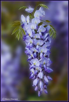 Glicine - Wisteria | Flickr - Photo Sharing!