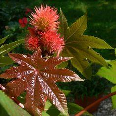 Mohou vám způsobit halucinace, otravu a téměř okamžitě i zabít. Toto jsou nejjedovatější rostliny - Strana 2 z 2 - Příroda je lék Bougainvillea, Flowers, Plants, Roots, Compost, Lawn And Garden, Plant, Royal Icing Flowers, Flower