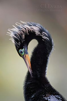 Anhinga Portrait by ChristinaLEvans, via Flickr
