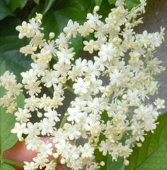 """How to Make a Naturally Fermented """"Champagne"""" from Elderflowers"""