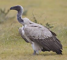 The White-backed Vulture (Gyps africanus) is an Old World vulture in the family Accipitridae, which also includes eagles, kites, buzzards and hawks.  In 2012 it was uplisted to Endangered.