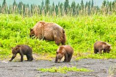 It is possible that some of the most serious recent bear encounters might have ended differently if bear spray had been at hand and had been used. Hindsight is always 20/20, but bear spray has been shown to be very effective if used as it was...