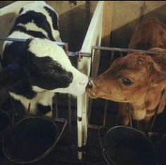 Holstein to Jersey calf kisses
