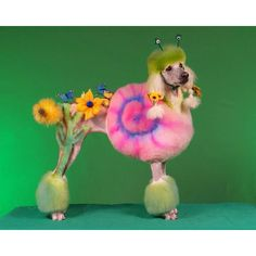 1000 images about dyed poodles on pinterest poodles