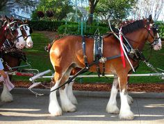 World Famous Budweiser Clydesdale Horses. Clydesdale Horses Budweiser, Winter's Tale, Gentle Giant, World Famous, Sea World, Animals Beautiful, Amazing, Orlando, Galleries