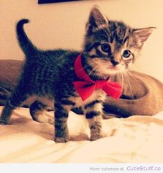 kittens with bow ties - bing search