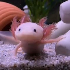 Almost all amphibians have thin, moist skin that helps them breathe. Check 35 creepiest amphibians that will shook your mind and make your day more creepy. Cute Baby Animals, Animals And Pets, Funny Animals, Beautiful Sea Creatures, Animals Beautiful, Axolotl Cute, Underwater Creatures, Tier Fotos, Freshwater Fish