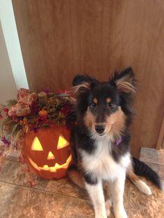 Halloween Sheltie