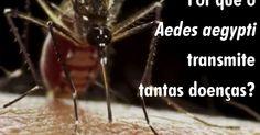 Saiba por que o Aedes aegypti é tão eficaz para transmitir doenças