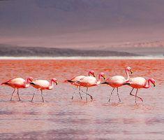 Flamingos at the Atacama Desert, Antofagasta Region, Chile.