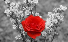 black-and-white-and-red-rose-wallpaper