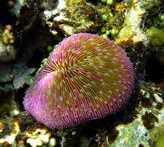 A beautiful specimen of Plate Coral (Fungia sp.). The picture was taken in Papua New Guinea
