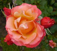 Tuscany Rose