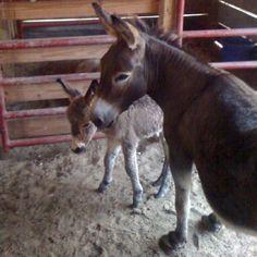 Mini Donkeys : Hollie Berry and little Beau Belle born 6-20-11