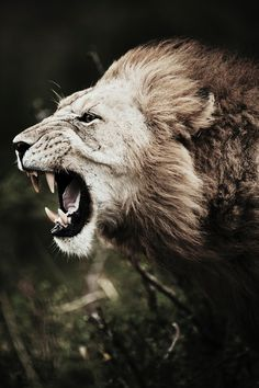 Roar of the Mara Lion