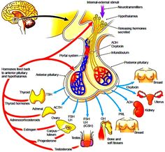 The hypothalamus, pituitary gland, and target tissues