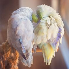 I Document A Storybook Love Between My Pastel Parrotlets, And The Result Will Melt Your Heart