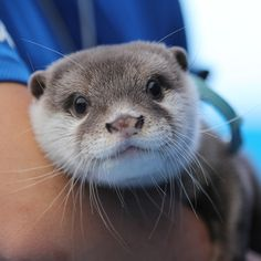 Sweet face of Otter