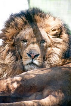 African Lion (Lex Luther)