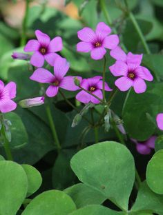 Purple Wood Sorrel makes low maintenance ground cover.