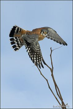 American Kestrel - photo by Karen L. Sirna; The American Kestrel or Sparrow Hawk is the smallest falcon in North America at 7-8 inches long. It is the only kestrel found in the Americas. It is the most common falcon in North America, and is found in a wide variety of habitats.