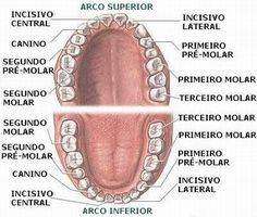 Portal do Professor - Dentes: Bens Preciosos Para a Mastigação de Alimentos