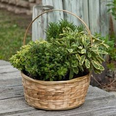Amazon.com: Herb Garden in Decorative Gift Basket - Edible Herbs - Green Gift that Ships Via 2-Day Air!: Patio, Lawn & Garden