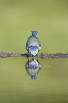A Blue Bird Drinking. This is an image we enjoy. Hope you enjoy it too - Little Hawk Trading, a favorite eBay store - Clothing & Shoes for LESS - http://stores.ebay.com/Little-Hawk-Trading
