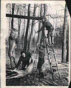 1949 Press Photo Michigan deer hunting
