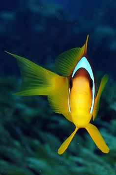 underwater beauty - by Wilfried Paesman - https://plus.google.com/photos/113435140175276945294/albums/5706328613563942417?banner=pwa Fish frontal view