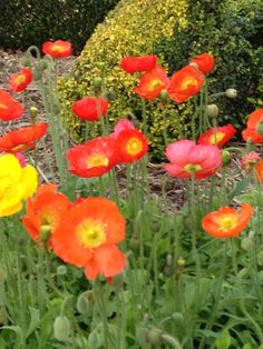 Carnival of Flowers Poppies