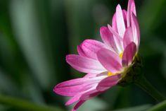 Pink flower. Hear footsteps of spring.